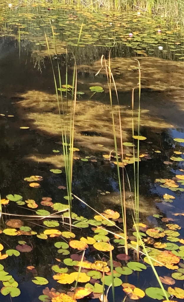 A pond full of water lilies, algae, and weeds.